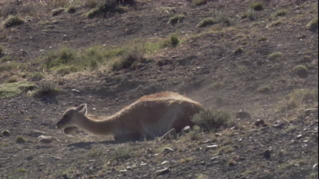 "vidéos et rushes de dust bathing guanacos. available in hd. - ""bbc natural history"""