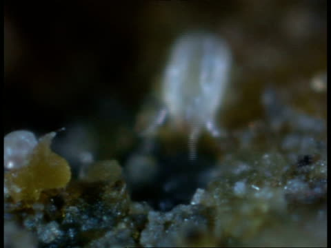 cu dust mites, dermatophagoides farani, microscopic, moving amongst dust particles - arachnid stock videos & royalty-free footage