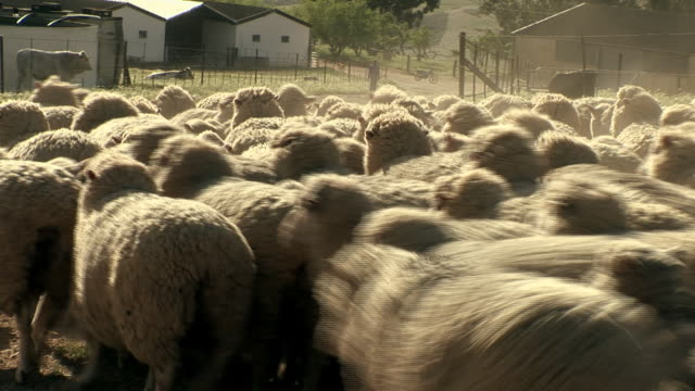 dust rises as a flock of sheep moves on a dirt road. - flock of sheep stock videos and b-roll footage