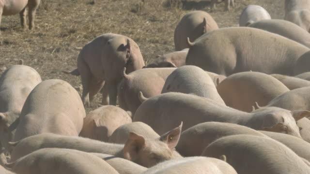 vídeos de stock e filmes b-roll de dusty pigs - porco