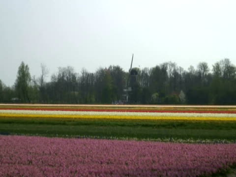 dutch flower fields and windmill, central holland - dutch culture stock videos and b-roll footage