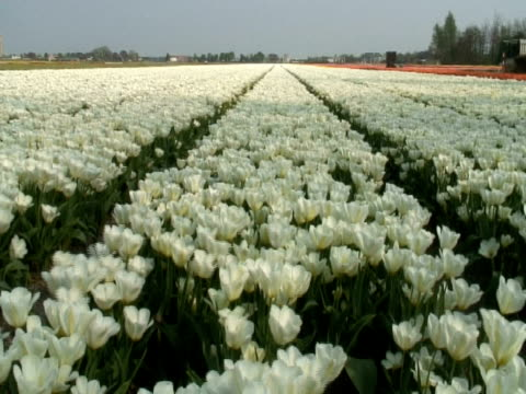 dutch white tulip (tulipa sp.) field waving in breeze, central holland - waving icon stock videos & royalty-free footage