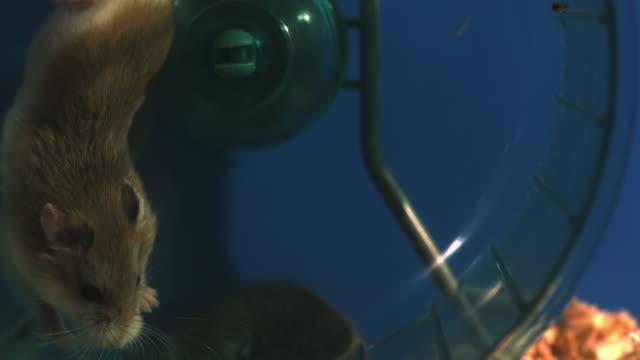 stockvideo's en b-roll-footage met slomo ms dwarf hamster running in wheel in cage then falls over - langzaam
