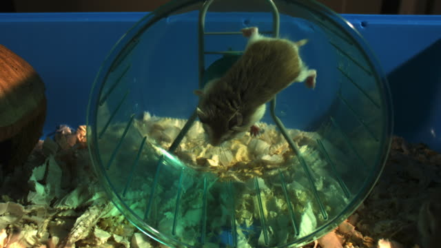 stockvideo's en b-roll-footage met slomo dwarf hamster running in wheel in cage then thrown out - langzaam