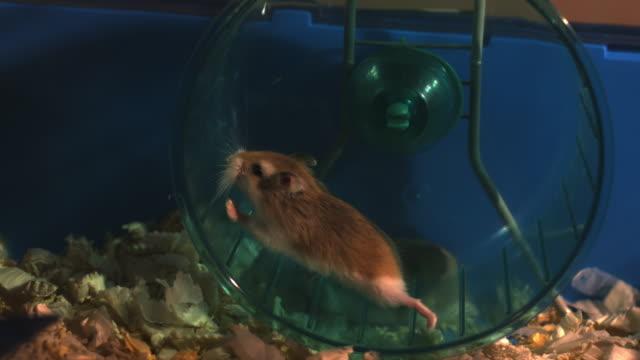 Slomo Dwarf Hamster Running In Wheel In Cage Stock Footage