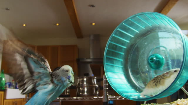 vídeos de stock, filmes e b-roll de slomo dwarf hamster runs in wheel as budgerigar flies through foreground in kitchen - periquito comum