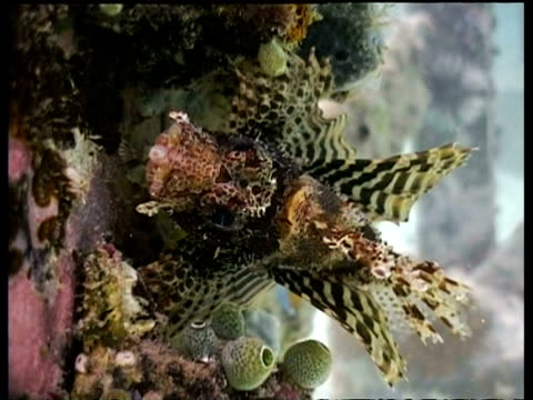 vídeos y material grabado en eventos de stock de cu dwarf lionfish resting by jetty, mabul, borneo, malaysia - rascacio