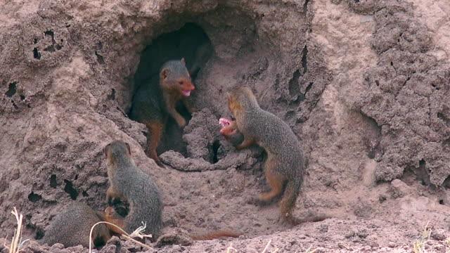 vídeos y material grabado en eventos de stock de dwarf mangoose in tarangire national park - madriguera