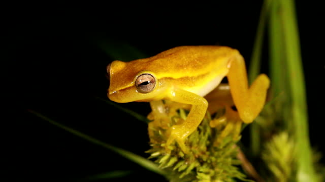 dwarf mexican treefrog - biological process stock videos and b-roll footage