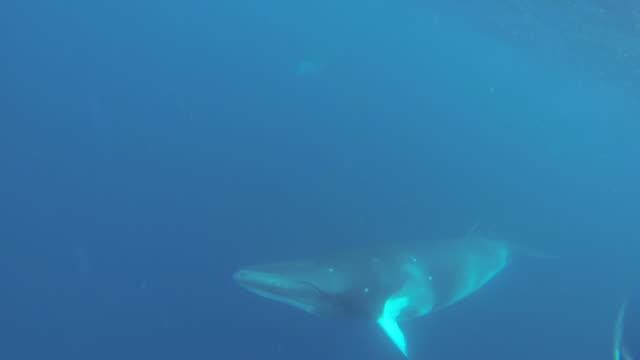 vidéos et rushes de dwarf minke whale - petit rorqual
