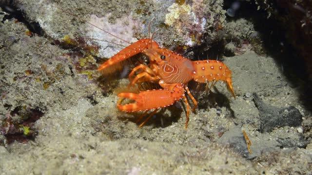 dwarf reef lobster. - 水中カメラ点の映像素材/bロール