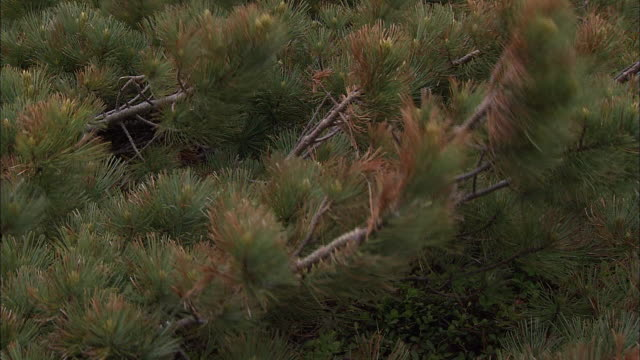 dwarf stone pine_daisetsuzan volcanic group, hokkaid_ - pine tree stock videos & royalty-free footage