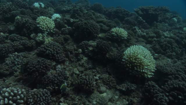 vídeos de stock e filmes b-roll de dying coral reef, french polynesia - coral cnidário