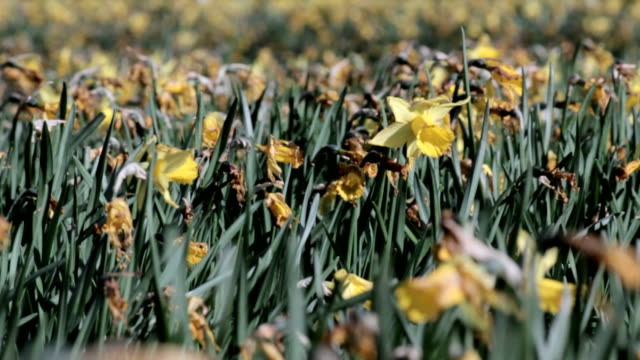 dying daffodils in a garden - daffodil stock videos & royalty-free footage