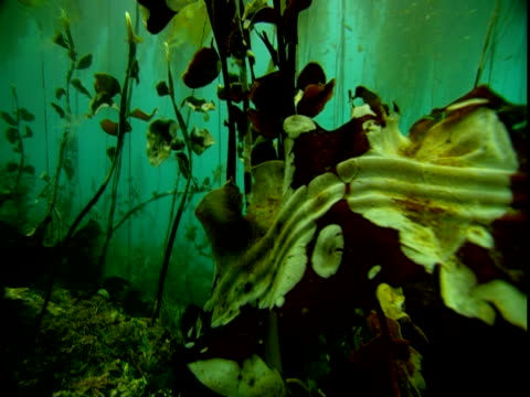 a dying kelp frond moves with the current in a green ocean. - kelp stock-videos und b-roll-filmmaterial