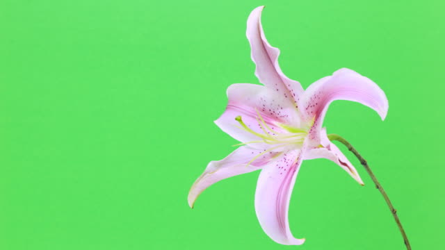Dying pink lily