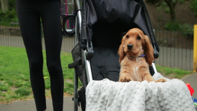 eager puppy in a stroller - pushchair stock videos & royalty-free footage