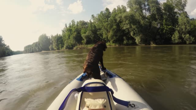 eager wet dog riding in kayak on sunny summer river, real time - adventure stock videos & royalty-free footage