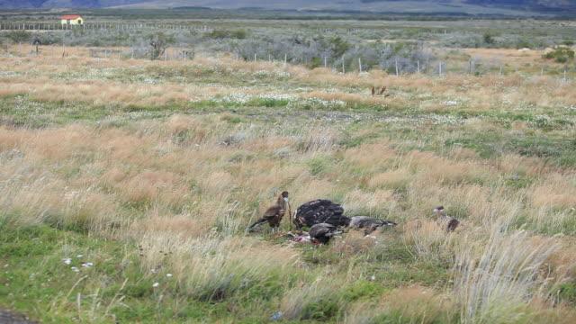 vídeos y material grabado en eventos de stock de ws eagle and southern crested caracaras eating dead prey in wild grass plain / torres del paine, chilean patagonia, chile - grupo mediano de animales