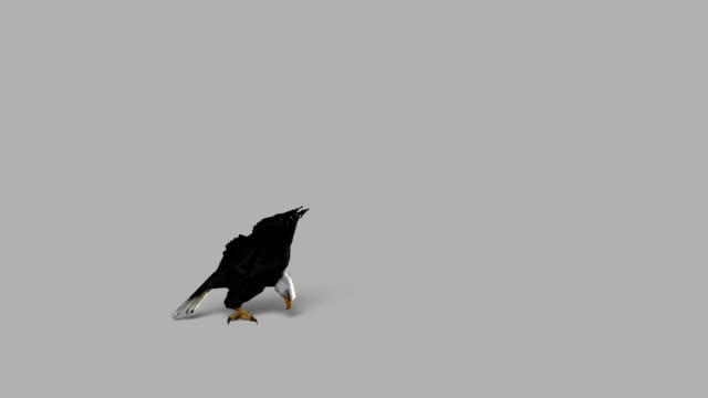 attacco eagle con canale alfa, loopable - appollaiarsi video stock e b–roll