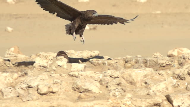 eagle, bird of prey, flying in slowmotion - eagle bird stock videos and b-roll footage