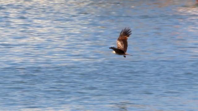 eagle catching a fish out of the water