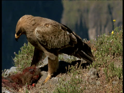eagle eats and pulls at corpse, ethiopia - aas fressen stock-videos und b-roll-filmmaterial