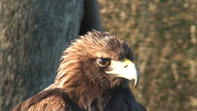 eagle face - golden eagle stock videos & royalty-free footage