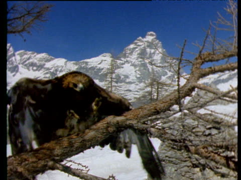 vidéos et rushes de eagle flies over camera and lands on branch, mountains in background, italy - aigle royal