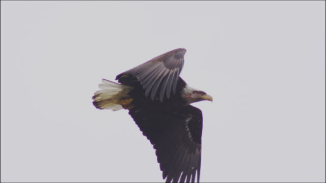 eagle flying in canada - bird of prey stock videos & royalty-free footage