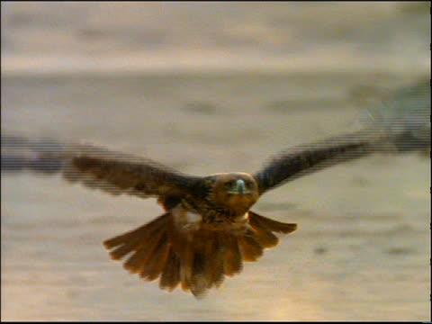 slo mo cu eagle flying low over ground towards camera - utfällda vingar bildbanksvideor och videomaterial från bakom kulisserna