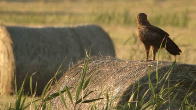 vídeos y material grabado en eventos de stock de eagle está buscando presas - animales cazando