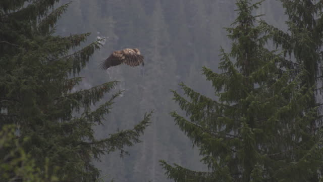 stockvideo's en b-roll-footage met het landen van de adelaar in een boom - alaska verenigde staten