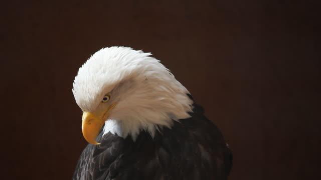 CU Eagle looking around, California, USA