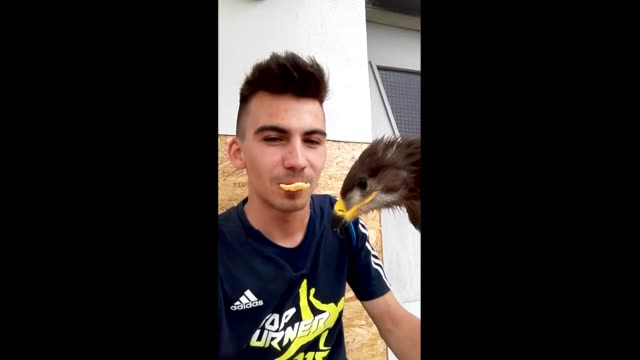 eagle nibbles on a crunchy treat from its owner's mouth - crunchy stock videos & royalty-free footage