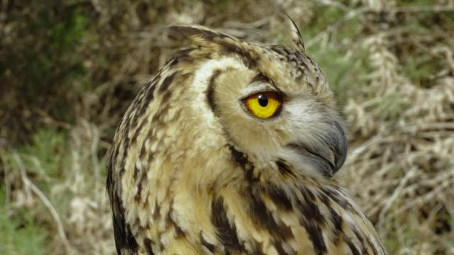 stockvideo's en b-roll-footage met eagle owl 1 - vachtpatroon