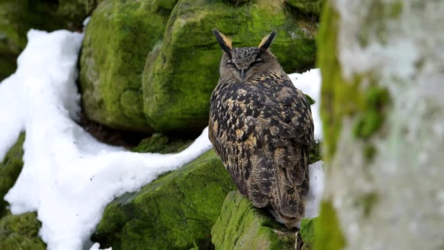 eagle owl, bubo bubo, in winter - tierkörper stock-videos und b-roll-filmmaterial