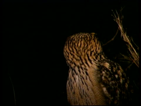 mcu eagle owl looking over shoulder, turns to camera, at night, israel - one animal stock-videos und b-roll-filmmaterial