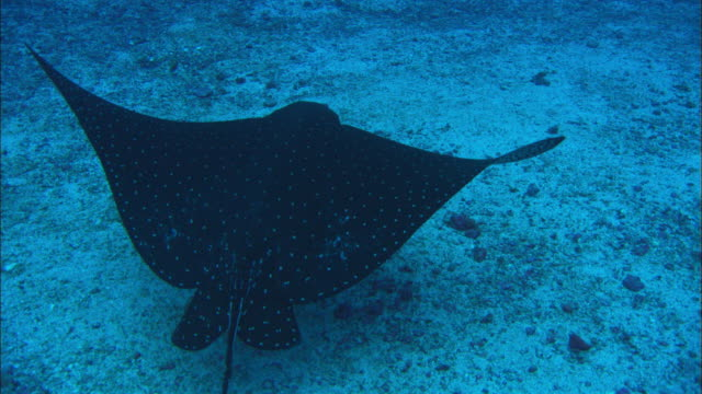 eagle ray, costa rica, pacific ocean  - eagle ray stock videos and b-roll footage