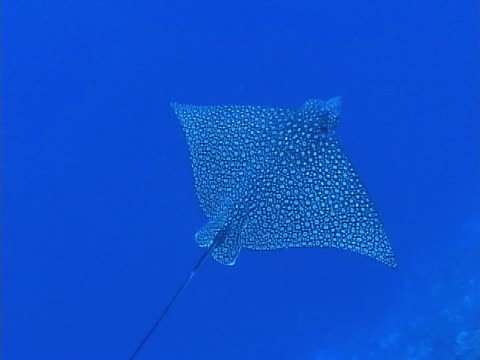 eagle ray, gliding along reef drop off - eagle ray stock videos and b-roll footage