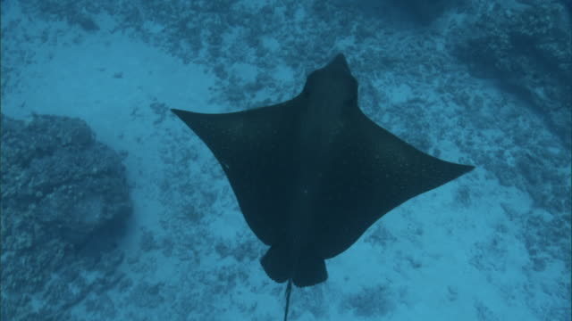 eagle ray (myliobatidae), hawaii - eagle ray stock videos and b-roll footage