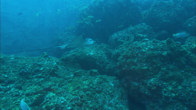 eagle ray over rocks, costa rica, pacific ocean  - eagle ray stock videos and b-roll footage