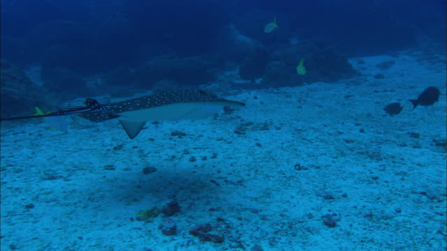 eagle ray swim by, costa rica, pacific ocean  - eagle ray stock videos and b-roll footage