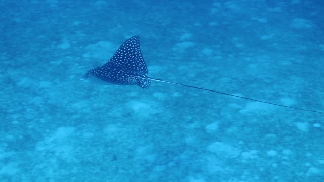 eagle ray swim under a sandy bottom - eagle ray stock videos and b-roll footage