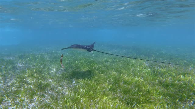 eagle ray swimming about seagrass on beach anse source d'argent in indian ocean on la digue island , seychelles , archipelago country in the indian ocean - sea grass plant stock videos & royalty-free footage