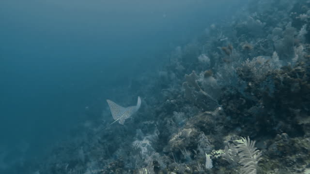 """""""eagle ray swimming aside coral with other species of fish in the caribbean, camera tracking its path"""" - eagle ray stock videos and b-roll footage"""
