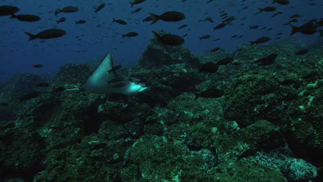 eagle ray - eagle ray stock videos and b-roll footage