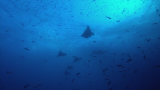 eagle ray - large group of animals stock videos & royalty-free footage