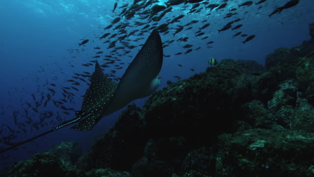 eagle ray - galapagos islands stock videos & royalty-free footage