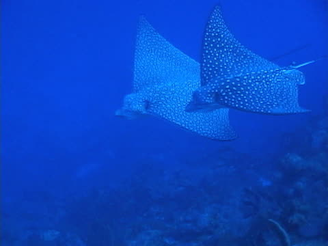eagle rays gliding, with shoals of fish passing across camera lens - medium group of animals stock videos & royalty-free footage